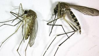 Mücken verbreiten das West-Nil-Fieber (Archiv)