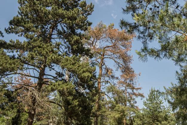 Kranke Bäume in der Wilhelm Klein-Anlage in Basel.