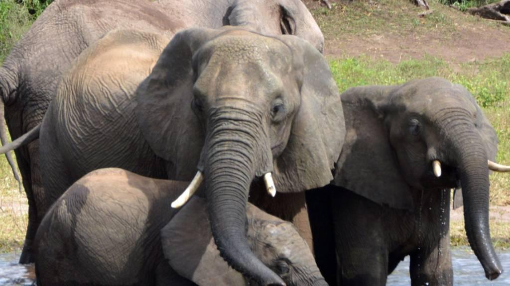 Botsuana erteilte hunderte Lizenzen für Elefanten-Jagd