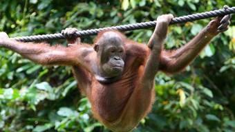 Ein Orang-Utan spaziert auf Borneo, Malaysia, durch den Regenwald