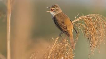 Der Drosselrohrsänger brütet in ausgedehnten Schilfflächen an grossen Seen. Die Vögel ziehen Ende Sommer in den Süden.