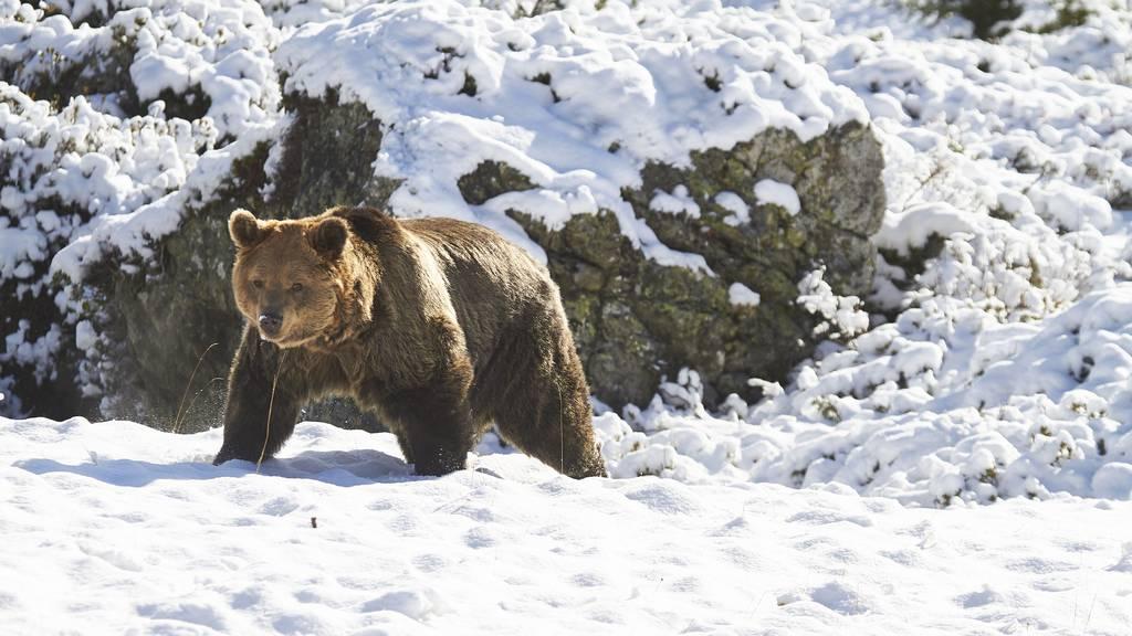 Alle drei Bären haben Winterruhe beendet