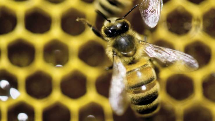 Die umstrittenen Neonicotinoide Clothianidin, Thiamethoxam und Imidacloprid sind für Bienen gefährlich. Das Gericht der Europäischen Union in Luxemburg hat am Donnerstag entschieden, dass die Insektizide weiter Beschränkungen beim Einsatz unterliegen. (Archiv)