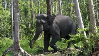 Sumatra-Elefanten leben im Wald und in Graslandschaften