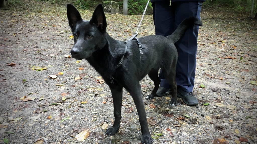 Dieser junge Schäferhund wurde am Dienstag ausgesetzt.