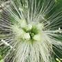 Abarema filamentosa aus der Familie der Hülsenfrüchtler, beheimatet im Atlantischen Wald in Brasilien, ist eine von zig gefährdeten Pflanzenarten (zVg).