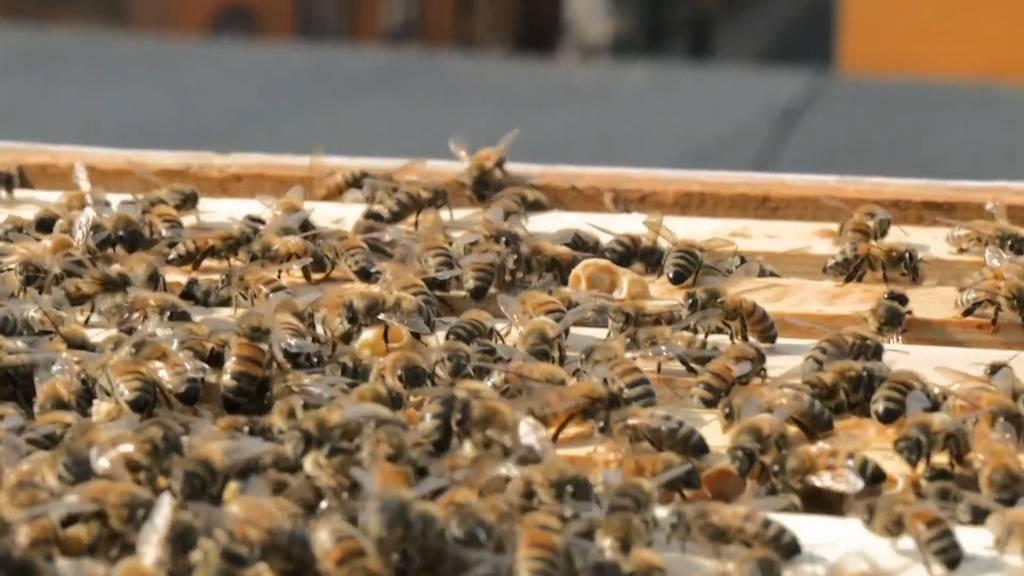 Tag der Biene: Wildbienen müssen geschützt werden