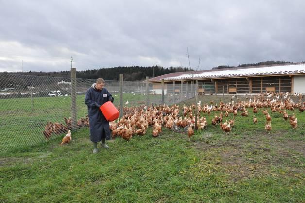 Die Hühner haben viel Freilauf