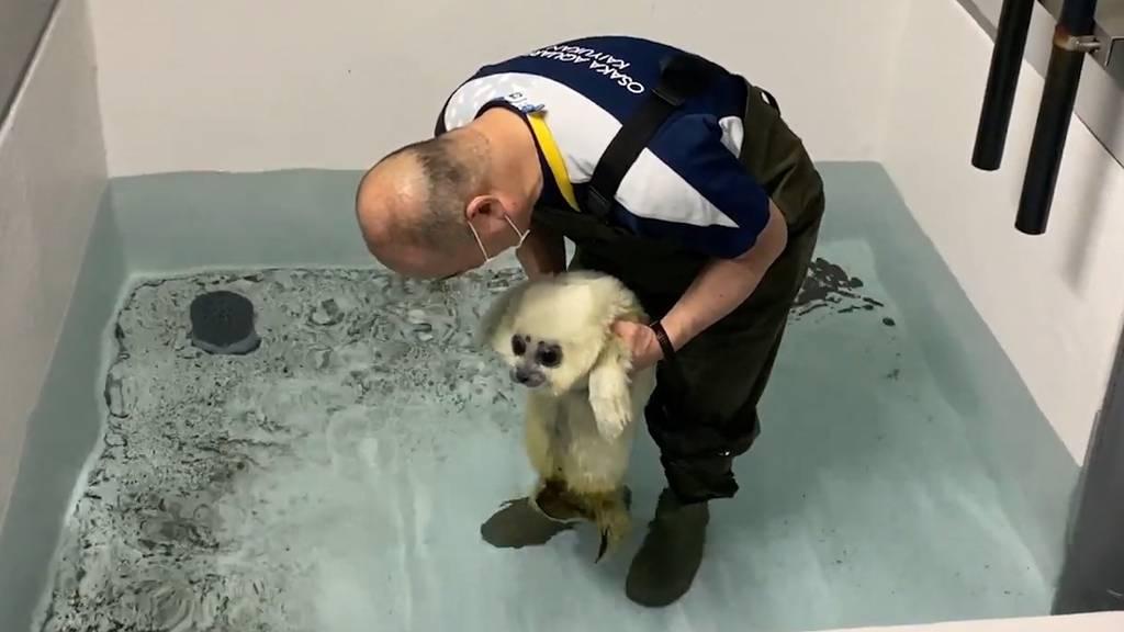 Schwimmversuch mit Jö-Alarm: Baby-Robbe wagt sich erstmals ins Wasser