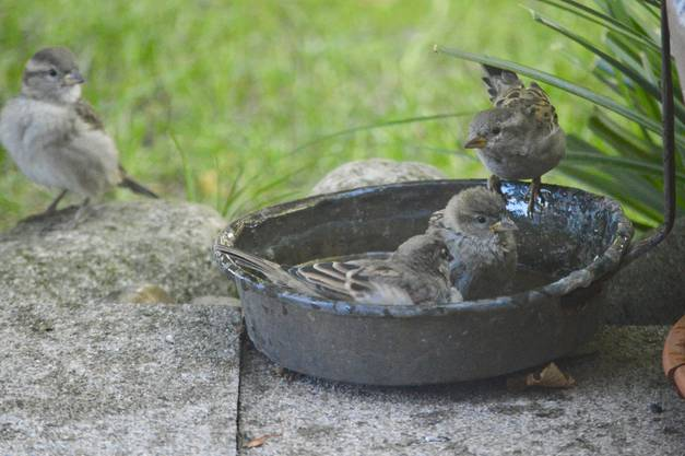 Die Haussperlingsfamilie geniesst einen der letzten Sommertage mit einer Abkühlung im Wasserbad