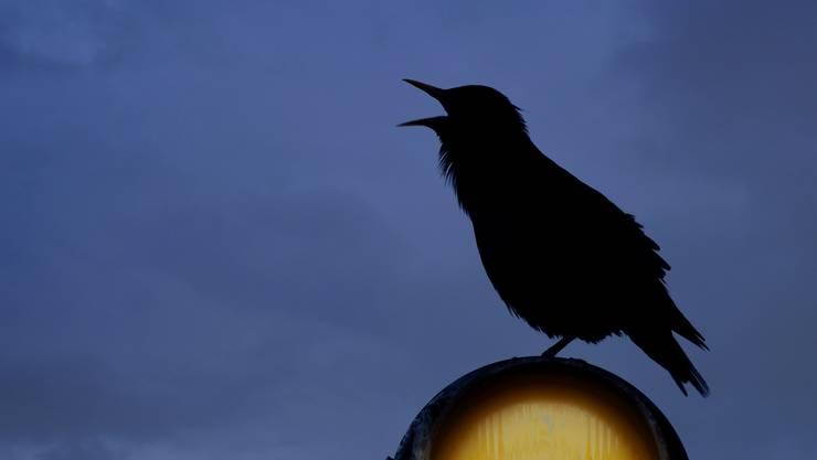 Vögel passen sich dem Menschen an, das zeigt der Film von Marc Tschudin. Doch eigentlich könnte der Mensch von den Vögeln lernen.