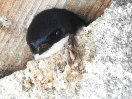 Junge Mehlschwalbe, Litzi