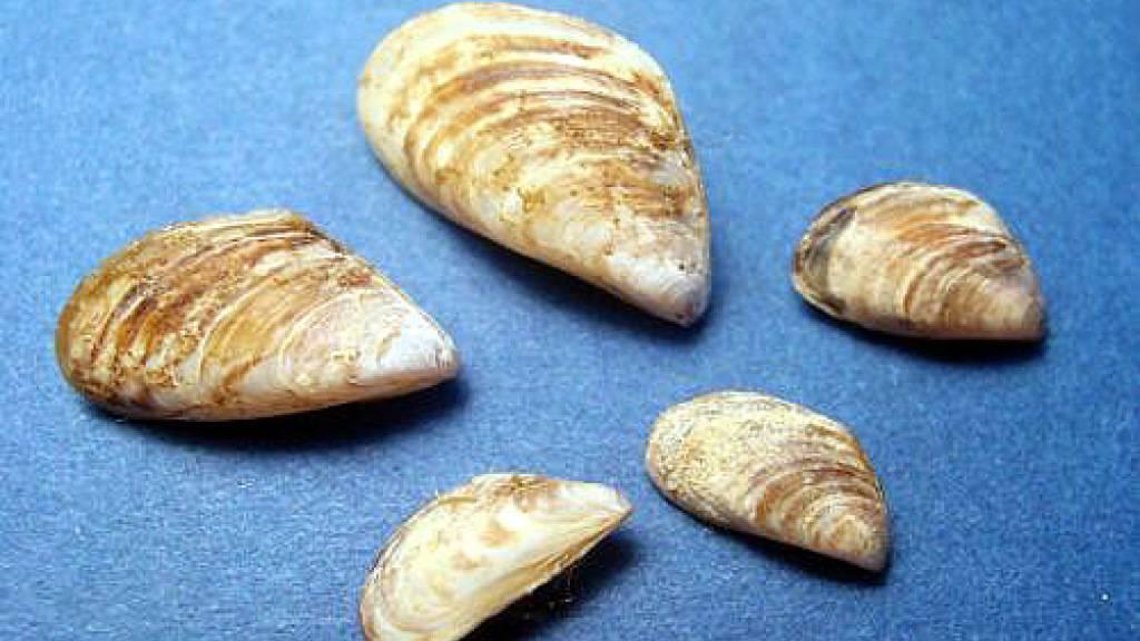Muschel richtet Schäden im Bodensee an