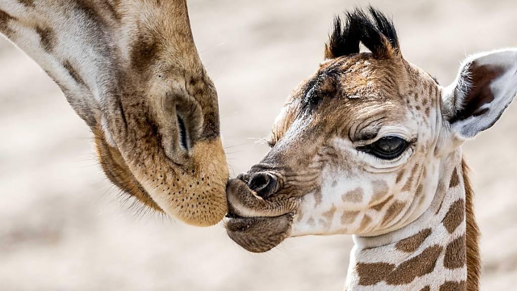Die Sozialstruktur von Giraffen in Afrika ist neuen Erkenntnissen zufolge komplexer als bisher angenommen. (Archivbild)
