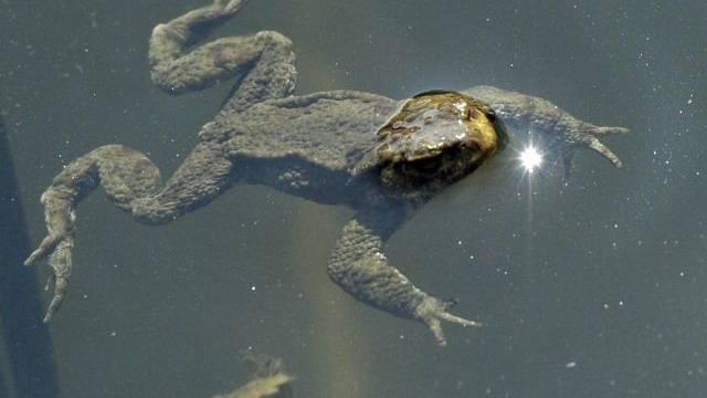 Eine Kröte schwimmt in einem Weiher (Symbolbild)