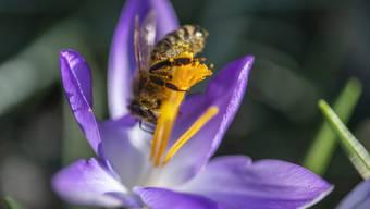 Die Vegetation ist einen Monat voraus: Eine Biene stürzt sich Kopf voran in eine Krokusblüte.