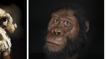 Der Schädel eines vor 3,8 Millionen Jahren lebenden Vormenschen (links) erlaubt erstmals, seine Gesichtszüge zu rekonstruieren (rechts).