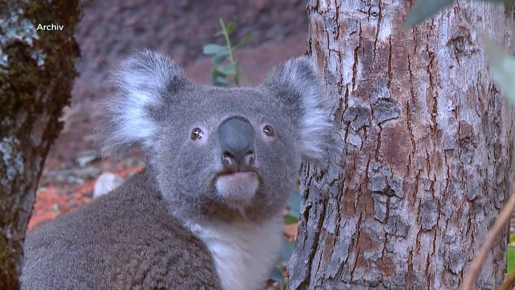 Koala Mikey ist unerwartet gestorben