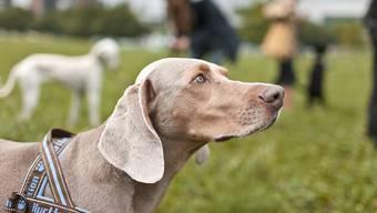 Der Kanton Zürich hatte eines der härtesten Hundegesetze der Schweiz. Der Regierungsrat hat nun beschlossen, dieses Gesetzt zu lockern.
