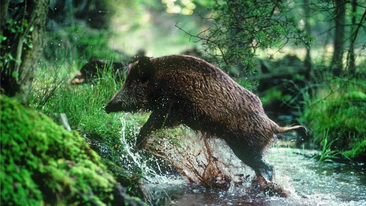 Wildschweine sind nachtaktiv und sehr schwer zu jagen. Sie gelten als schlau und haben einen guten Geruchs- und Gehörsinn.