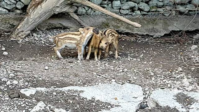 Frischlinge im Wildpark Roggenhausen
