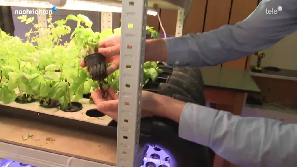 Urner züchten Pflanzen mit Fisch-Abwasser