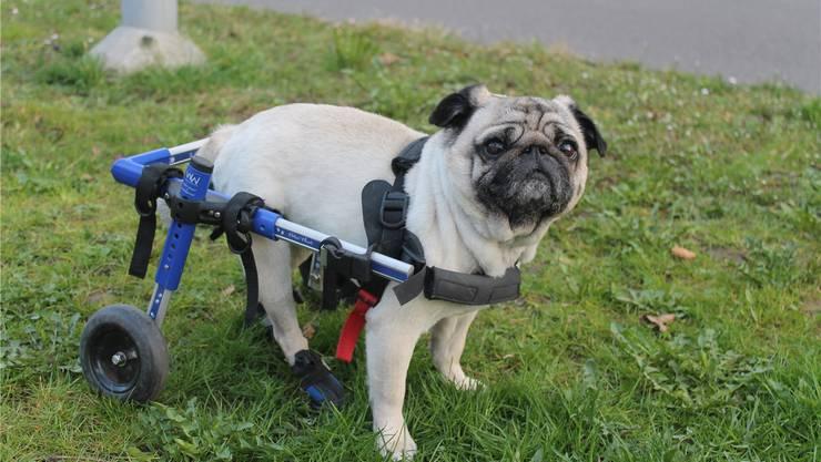 Ein Anblick, den man nicht jeden Tag sieht: Mops Ella kann die Spaziergänge wieder geniessen. Die Hündin erkundet die Welt nun auf Rädern.