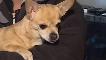 Chihuahua «Sunny» aus Safenwil hat am Sonntagnacht wegen eines Hausbrandes Alarm geschlagen. Der kleine Vierbeier rettete zwei Erwachsene und vier Kinder vor dem Feuer. Das war seine erste Heldentat.