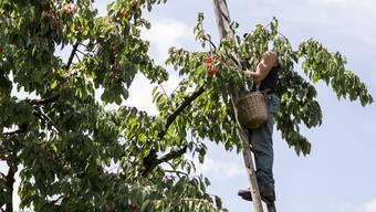 Hilfsarbeiter wie Erntehelfer sind seit 1. Juli meldepflichtig. Viele Landwirte haben die Verträge mit ihren Saisonniers deshalb schon vorher abgeschlossen.
