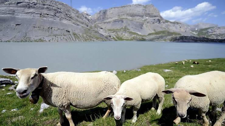 Am Schäferfest auf der Gemmi gibt es für die Schafe der umliegenden Alpen ein Festessen.