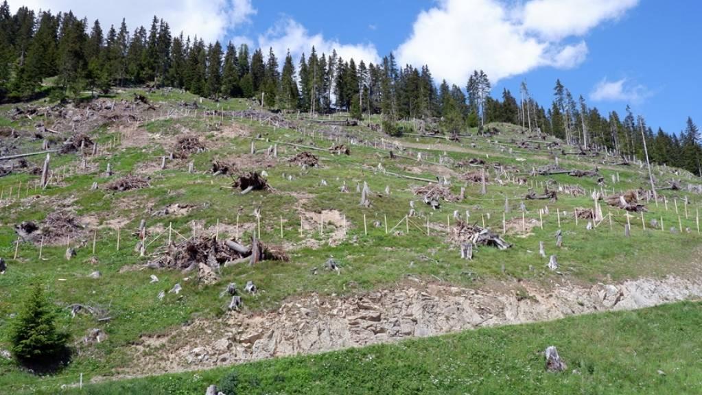 Die geräumte Sturmschadenfläche oberhalb von Bergün eignet sich optimal für die Einrichtung einer Testpflanzung.