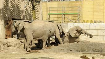 Im Basler Zoo ist Elefantenkuh Malayka gestürzt