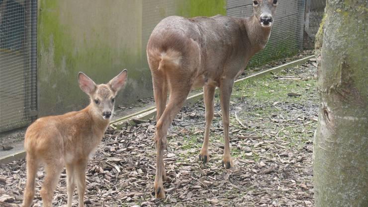 Im Sommer wurde der kleine Rehbock Sebastian (links) in eine Wildtierstation im Kanton Bern gebracht. zvg