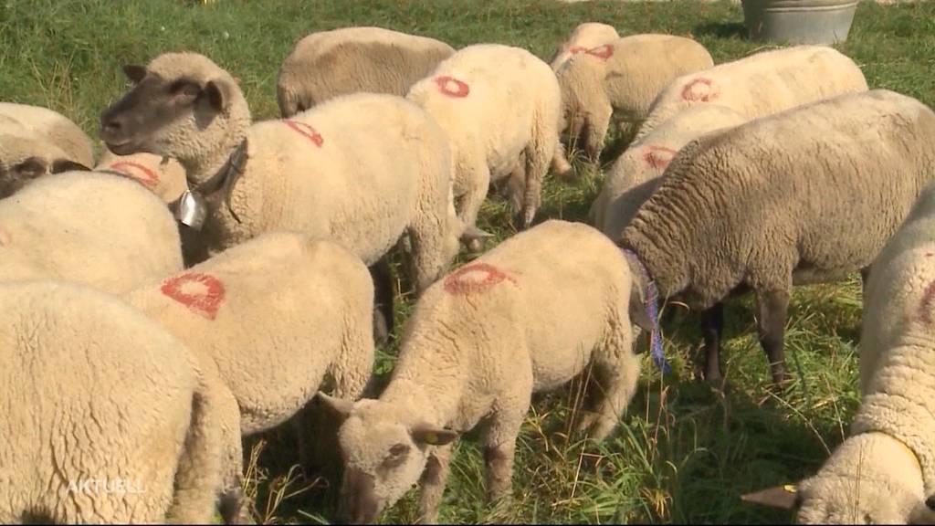 Asylbewerber wegen Schafs-Diebstahl verurteilt