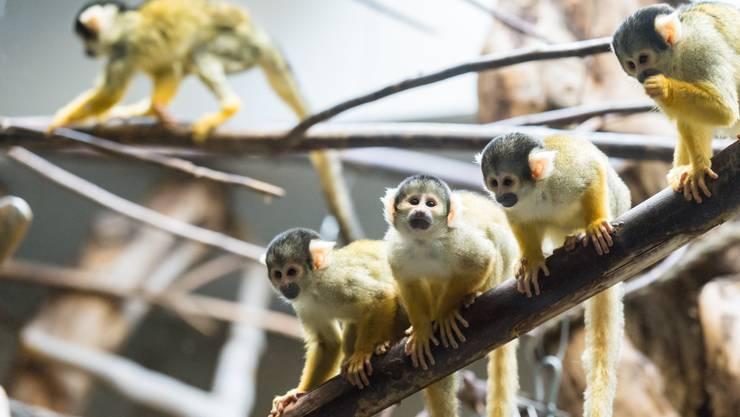 Eine neunköpfige Gruppe von Totenkopfäffchen weilt zurzeit vorübergehend im Zoo Basel.