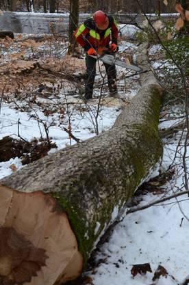 Die Förster können die Bäume nur fällen und zerlegen, herausgeschleift werden sie später