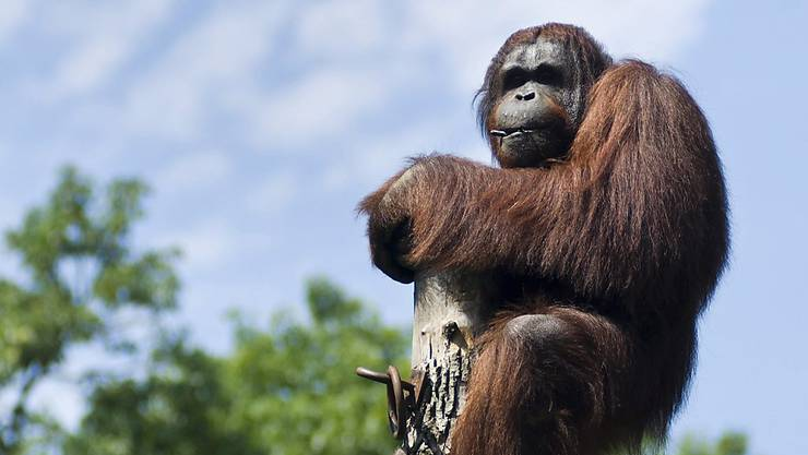 Auf Borneo dünnt sich der Bestand an Orang-Utans immer mehr aus. Bald sind die Affen möglicherweise - wie hier - nur noch im Zoo zu sehen. (Archivbild)