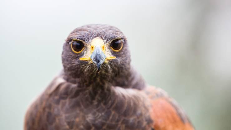 Wenn es um ihren Nachwuchs geht, kennen Greifvögel wie dieser Bussard keinen Spass.