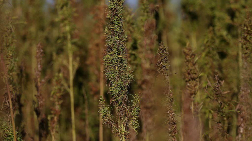 13'000 Cannabis-Pflanzen stellte die Griechische Polizei bei Athen sicher. Das sei «der grösste Fund aller Zeiten». (Archivbild)