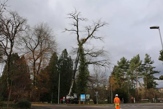 Der Baum war 22 Meter hoch und 100 Jahre alt.
