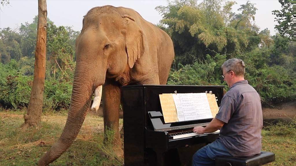 Pianist spielt für misshandelte Elefanten