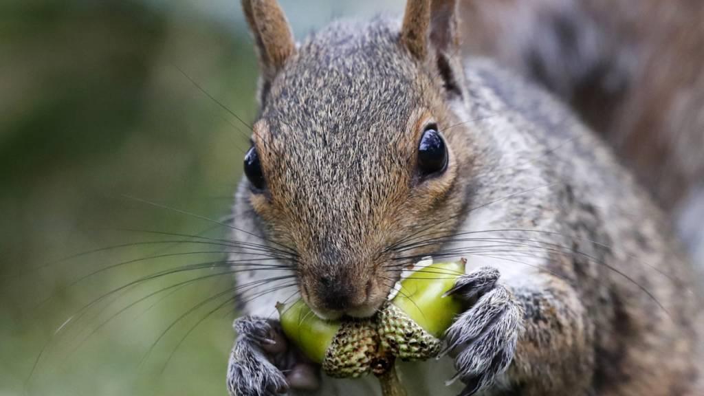 Sind herzig, aber vom Namen her nicht ganz an der Spitze: Eichhörnchen. Deutschlernende mögen das Wort «Gemütlichkeit» noch lieber. (Symbolbild)