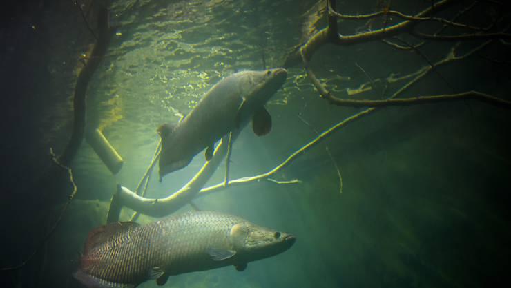 Die Arapaima schwammen am Dienstag bereits in ihren neuen Wasserbecken in der Aquatis-Anlage in Lausanne herum. Die in Südamerika heimischen Süsswasserfische können bis 4,5 Meter lang werden.