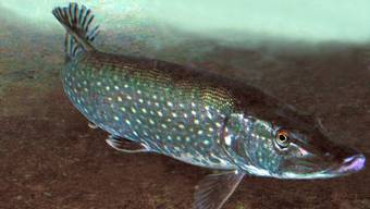 Die Fischer wollen nicht, dass die Tiere im Rhein, wie dieser Hecht, giftigem Schlamm im Wasser ausgesetzt werden.