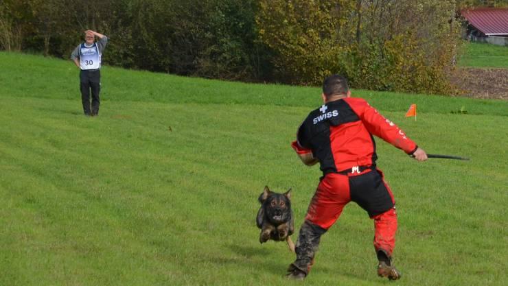 Der Angreifer wird keine Chance haben: Der Deutsche Schäferhund ist bestens ausgebildet, ihn zu stoppen.