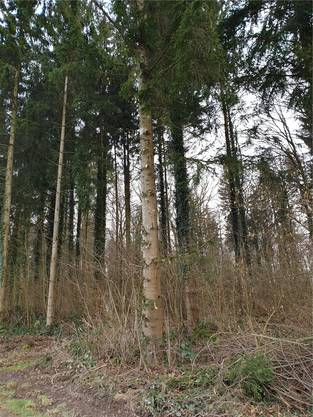 Auch Bäume werden geschnitten, damit Sträucher besser wachsen können.