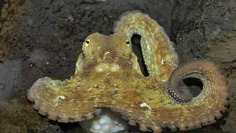 Ausbrecherkönig: Der Krake kann, falls nötig, durch ein 1-Franken-Stück grosses Loch schlüpfen. Zoo Basel/zvg