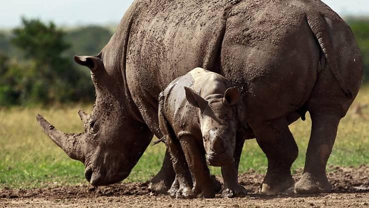 Die Schweiz ist gegen eine Lockerung des Nashornschutzes. (Archivbild)