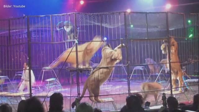 Krach um Löwenshow