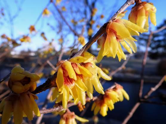 """Trotz Raureif machen diese Blüten ihrem Namen """"Chinesische Winterblüte"""" in Muttenz in der Anlage zum Park alle Ehre!"""